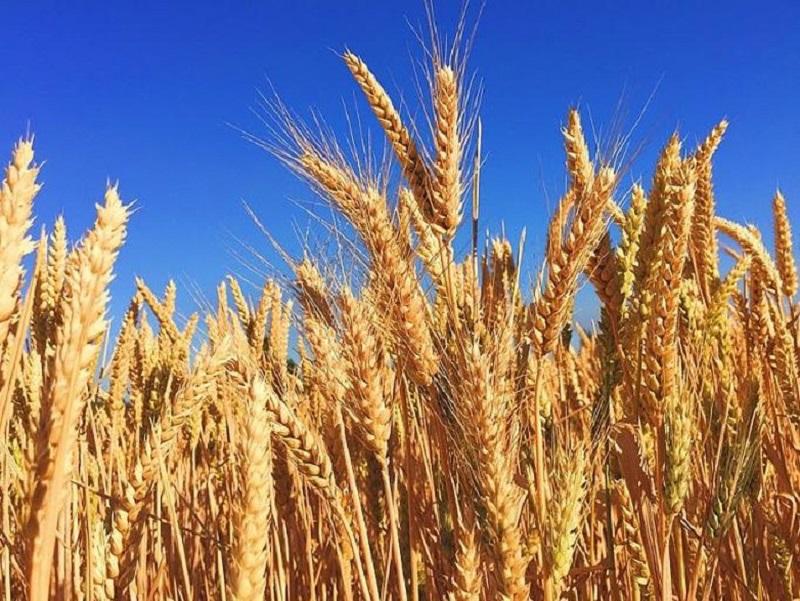 Dinh dưỡng lúa mạch